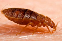 bed bugs biting on skin